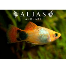 Platy Golden Mickey Mouse