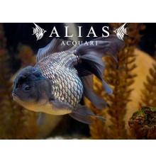 Carassius auratus blue oranda long fin