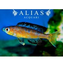 Cyprichromis microlepidotus «Bulu Point»