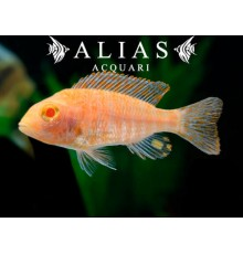 Aulonocara sp. Fire Fish Ice Blue Albino