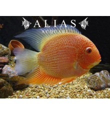 Heros severum red spot