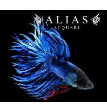 Betta splendens male crowntail blue