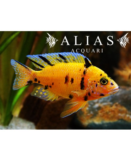 Aulonocara sp. Orange blanche