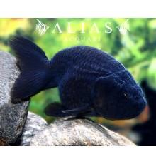 Carassius auratus black ranchu long fin