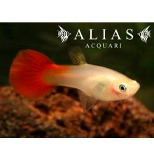 Poecilia ret. female coral tail