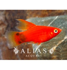 Platy Mickey Mouse Red Simpson