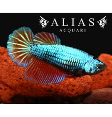 Betta splendens female dragon