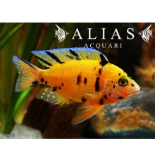 Aulonocara sp. Orange blanche