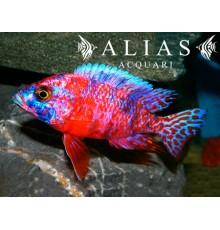 Aulonocara Calico red neon