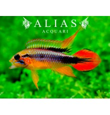 Apistogramma Agassizi gold red