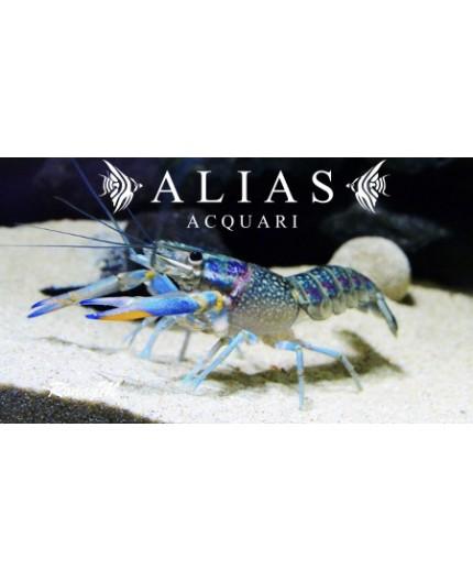 Cherax Quadricarinatus blue