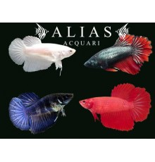 Betta splendens female halfmoon mix