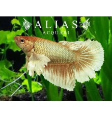 Betta splendens female SuperDelta big ears