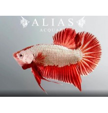 Betta splendens male giant