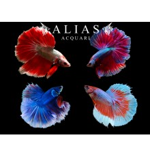 Betta splendens male halfmoon mix