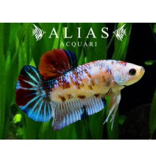 Betta splendens male koi