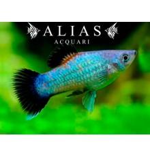 Xiphophorus maculatus blue wagtail