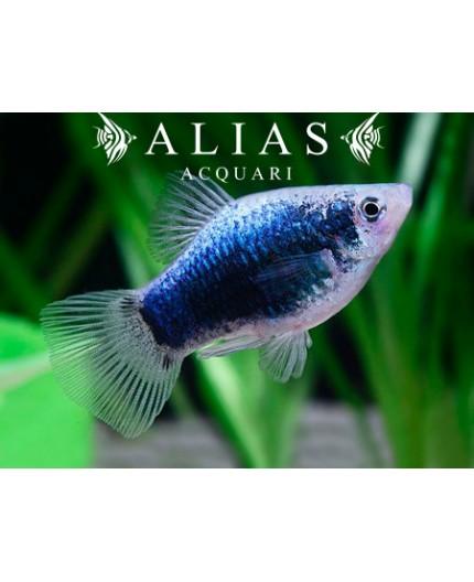 Xiphophorus maculatus tuxedo blue