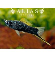 Xiphophorus helleri black