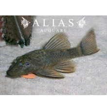 Ancistrus sp. LDA 16