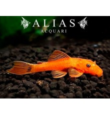Ancistrus sp. orange