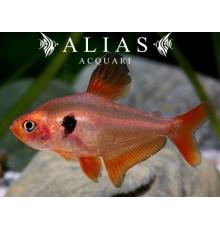 Hyphessobrycon Callistus