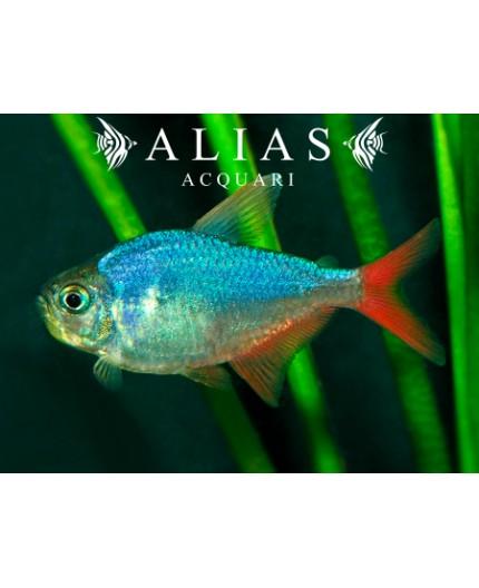 Moenkhausia Columbiana red-blue