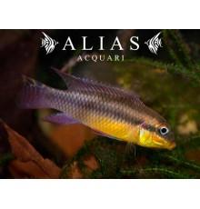 Pelvicachromis Taeniatus ogele