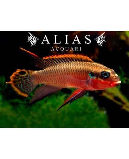 Pelvicachromis Taeniatus niger red