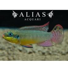 Pelvicachromis Taeniatus (Kribensis) nange