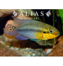 Pelvicachromis subocelatus matadi