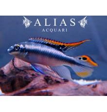 Pelvicachromis Pulcher blue