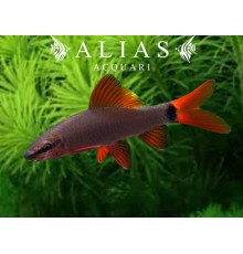 Labeo Frenatus (EU Bred)