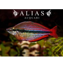 Melanotenia Australis super red