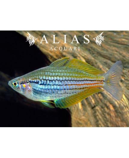 Melanotaenia Papuensis