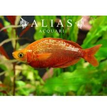 Glossolepis Incisus
