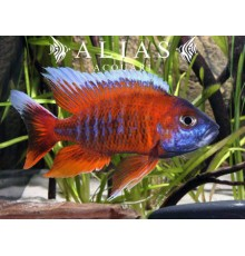 Aulonocara jacobfreibergi Eureka Super Red