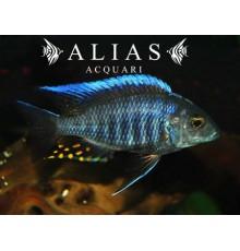 Aulonocara Kadensis