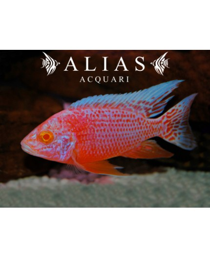 Aulonocara sp. Red pink albino