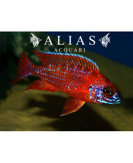 Aulonocara sp. Ruby red