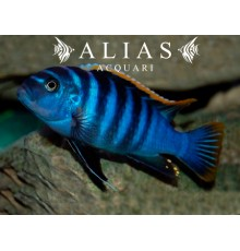 Cynotilapia Afra red dorsal