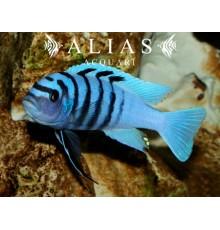 Cynotilapia sp. Hara Gallireya reef