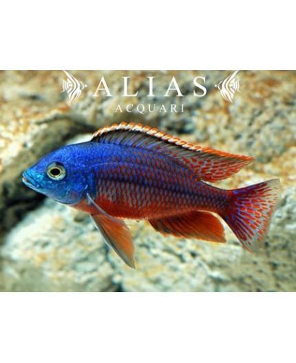 Cyrtocara (Nyassachromis) Boadzulu
