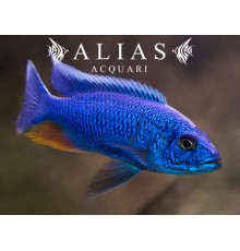 Haplochromis (Sciaenochromis) Fryeri