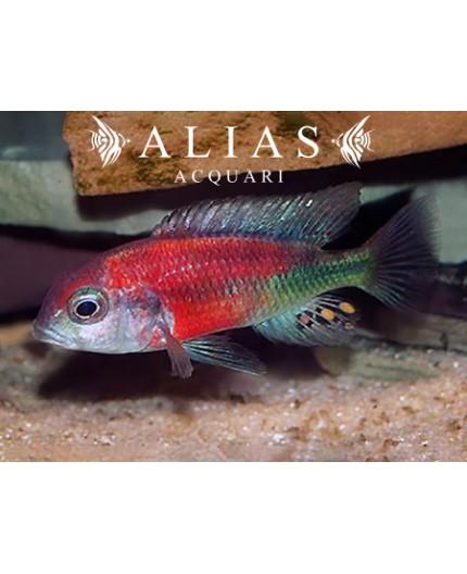 Haplochromis (Ptyochromis) Hippo point salmon