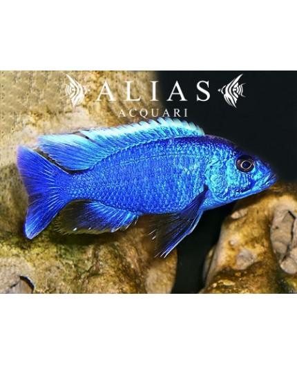 Haplochromis Ivory Undu reef