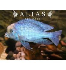 Haplochromis (Cyrtocara) Moorii