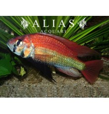Haplochromis nyererei Ruti Island