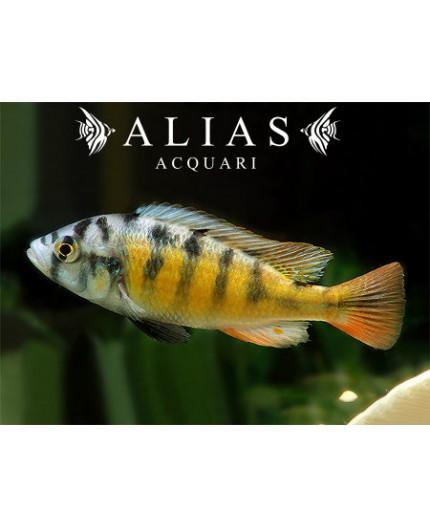 Haplochromis sp. ch 44