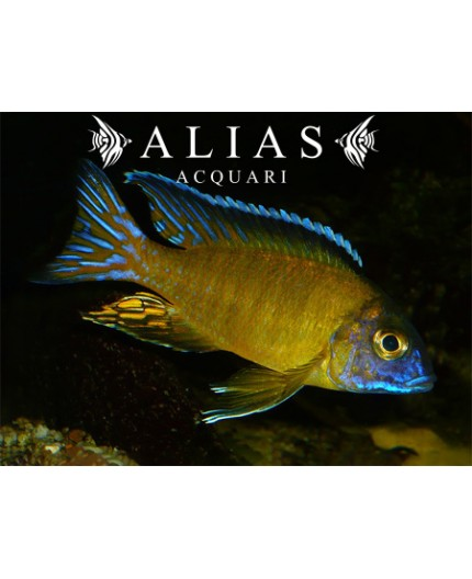 Haplochromis steveni
